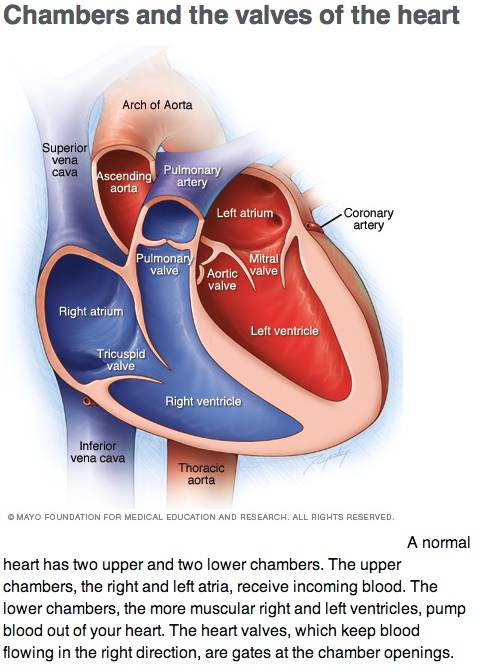chambers and valves of the heart | alvinalexander, Sphenoid