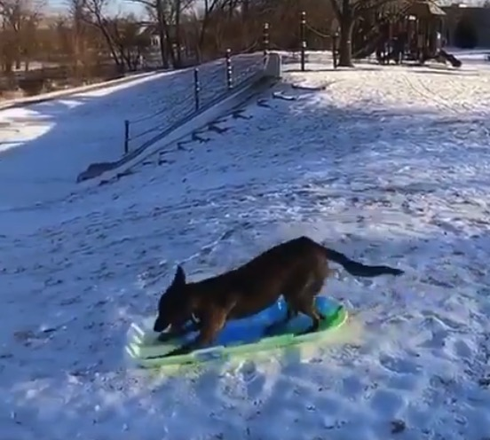 Dog goes sledding by itself