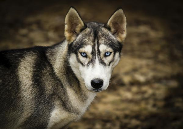 Dog With Bright Blue Eyes And Brown Coat