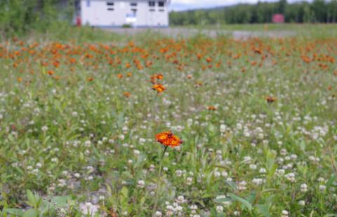 Wildflowers at the Talkeetna, Alaska airport