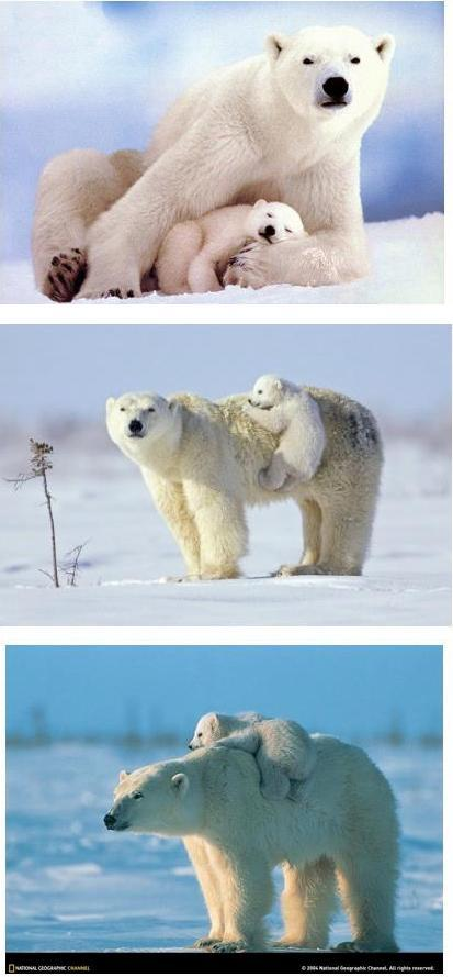 Polar bear photos (mom and cub)