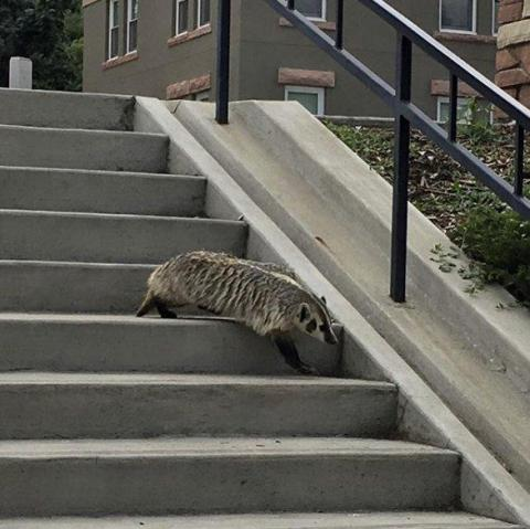 A honey badger at the University of Colorado