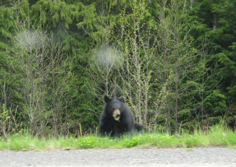 An angry black bear, somewhere in Canada