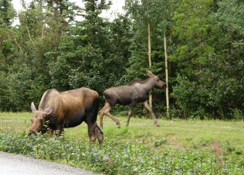 A couple of moose in Alaska
