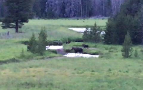 Two moose in Rocky Mountain National Park