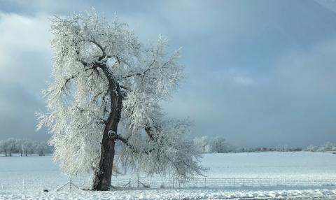 A snow white tree, Louisville, Colorado