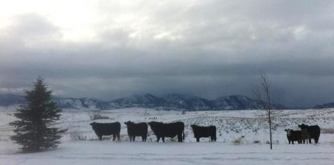 My cattle neighbors in Broomfield, Colorado