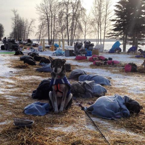Iditarod sled dog can't sleep