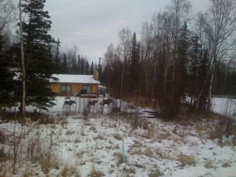 Three moose running across my neighbor's yard, Wasilla, Alaska