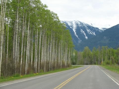 Aspen or Cottonwood trees, somewhere in Canada