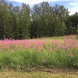 Fireweed blooming in Alaska (and winter coming)
