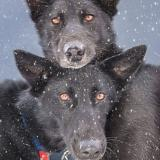 Two black dogs (Iditarod Trail Committee)
